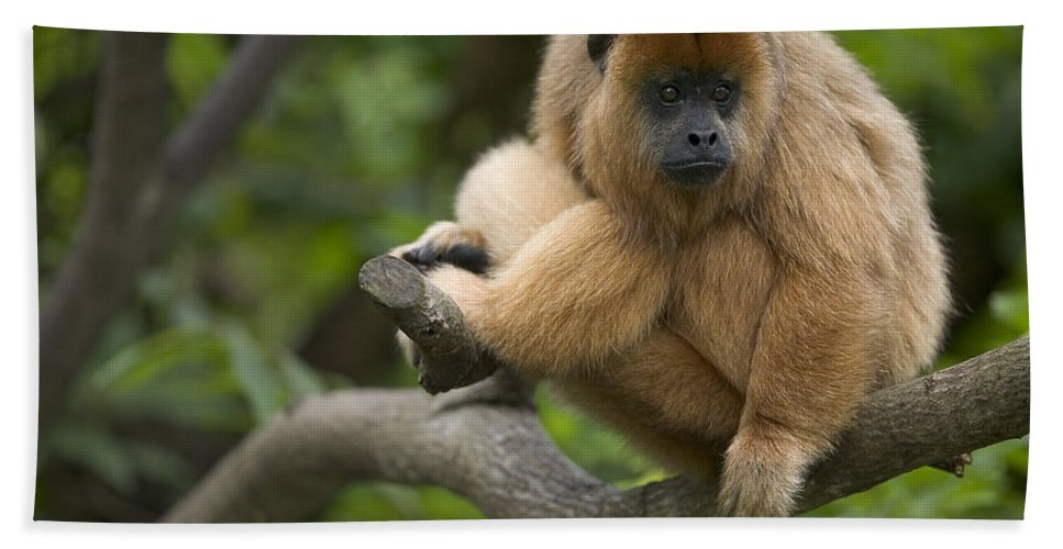 Mp Hand Towel featuring the photograph Black Howler Monkey Alouatta Caraya by Cyril Ruoso