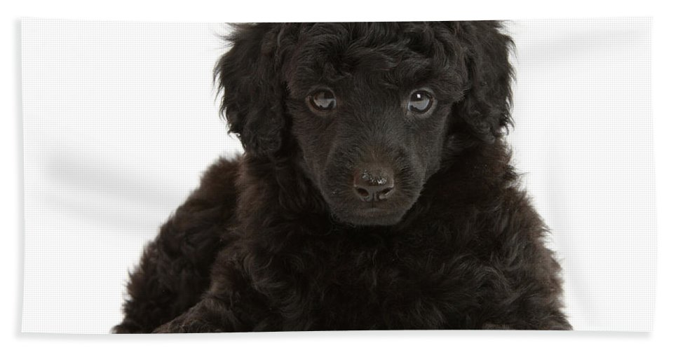 Animal Hand Towel featuring the photograph Black Toy Poodle Pup by Mark Taylor