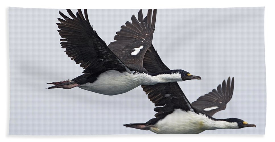 Mp Hand Towel featuring the photograph Blue-eyed Cormorant Phalacrocorax by Ingo Arndt