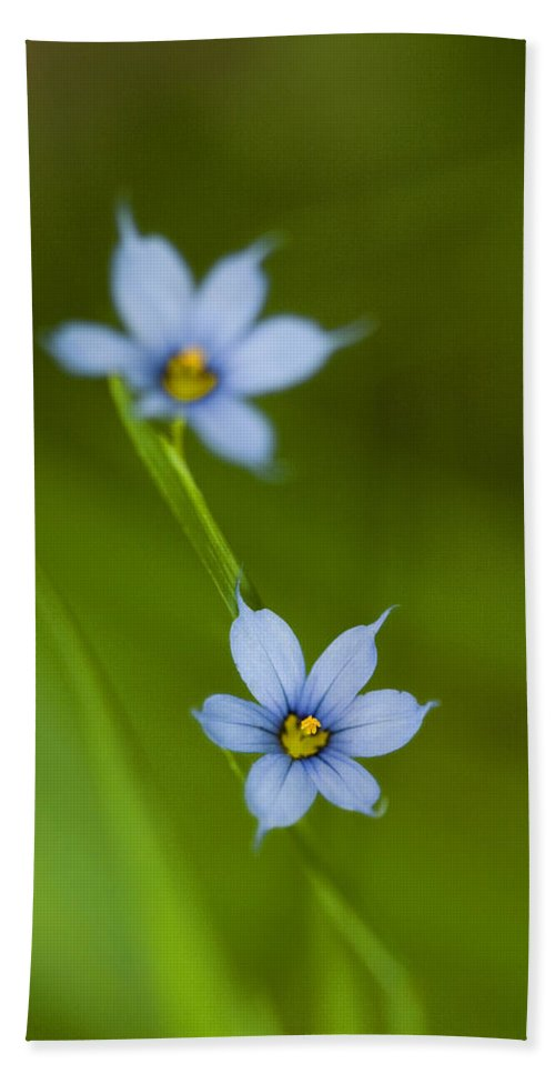Blue-eyed Grass Bath Sheet featuring the photograph Blue-eyed Grass Wildflower - Sisyrinchium Angustifolium by Kathy Clark