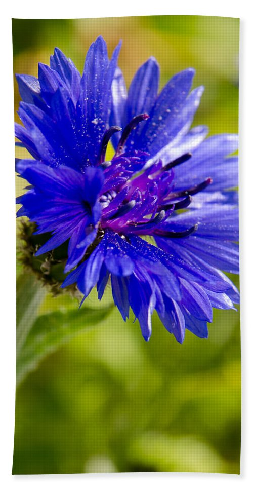 Agriculture Hand Towel featuring the photograph Blue Single Cornflower by Michael Goyberg