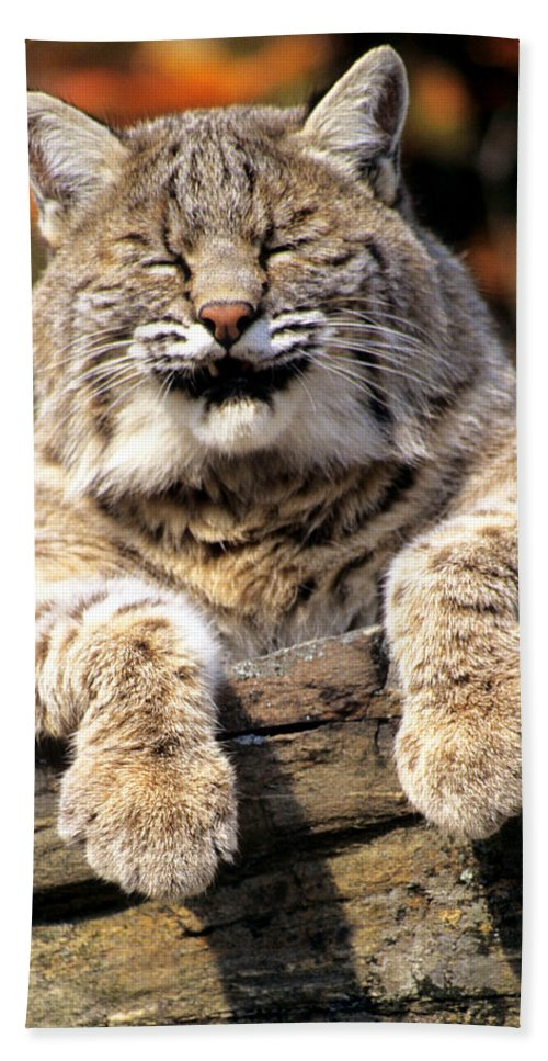 Bobcat Bath Sheet featuring the photograph Bobcat Snoozes In The Sun by Larry Allan