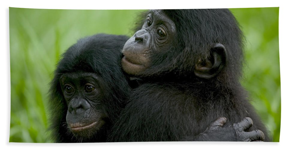 Mp Hand Towel featuring the photograph Bonobo Orphans Hugging by Cyril Ruoso
