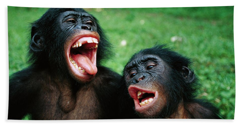 Mp Hand Towel featuring the photograph Bonobo Pan Paniscus Juvenile Pair by Cyril Ruoso