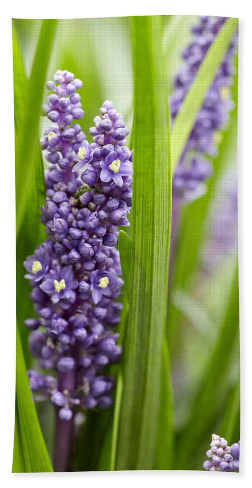 Vp Hand Towel featuring the photograph Border Grass Liriope Muscari Big Blue by VisionsPictures