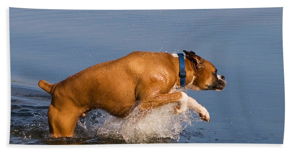 Boxer Hand Towel featuring the photograph Boxer Playing In Water by Stephanie McDowell