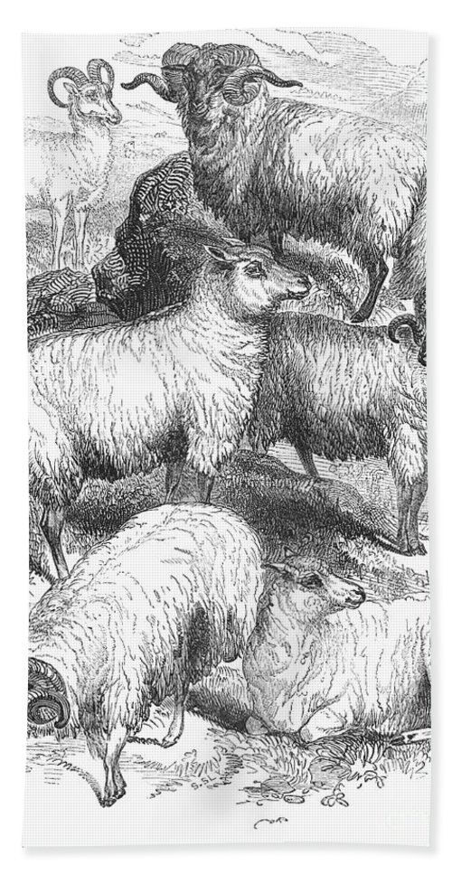 1841 Hand Towel featuring the photograph Breeds Of Sheep, 1841 by Granger