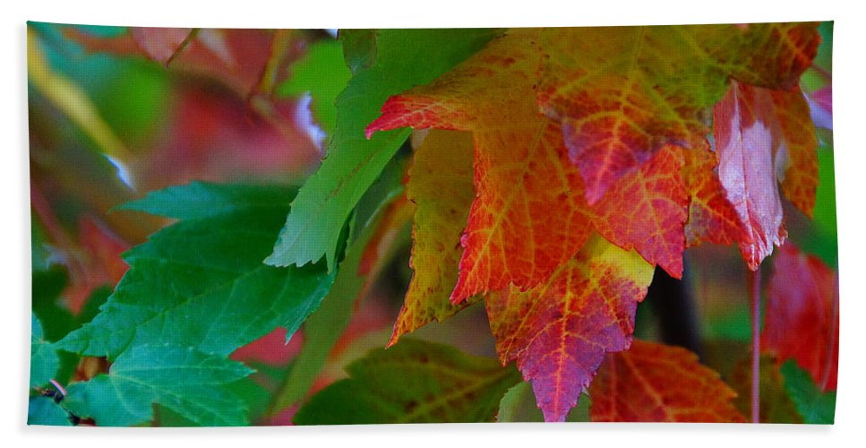 Brilliant Hand Towel featuring the photograph Brilliant Red Maple Leaves by Mick Anderson