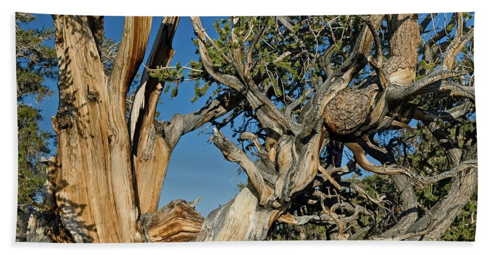Bristlecone Bath Sheet featuring the photograph Bristlecone Pine by Greg Nyquist