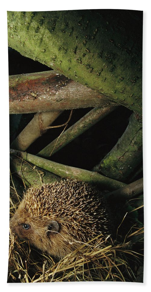 Mp Hand Towel featuring the photograph Brown-breasted Hedgehog Erinaceus by Cyril Ruoso