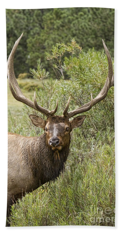 Elk Bath Sheet featuring the photograph Bull Elk Eyes by James BO Insogna