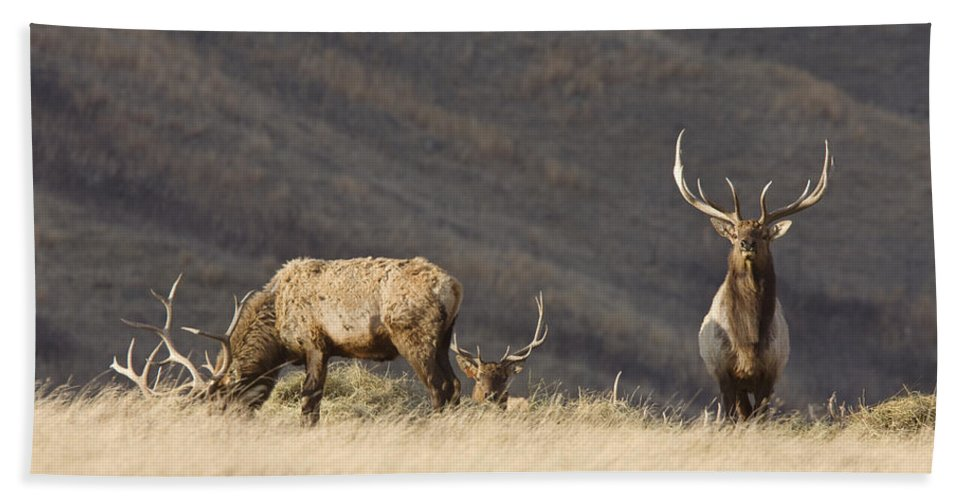 Nature Bath Sheet featuring the photograph Bull Elk by Mark Duffy