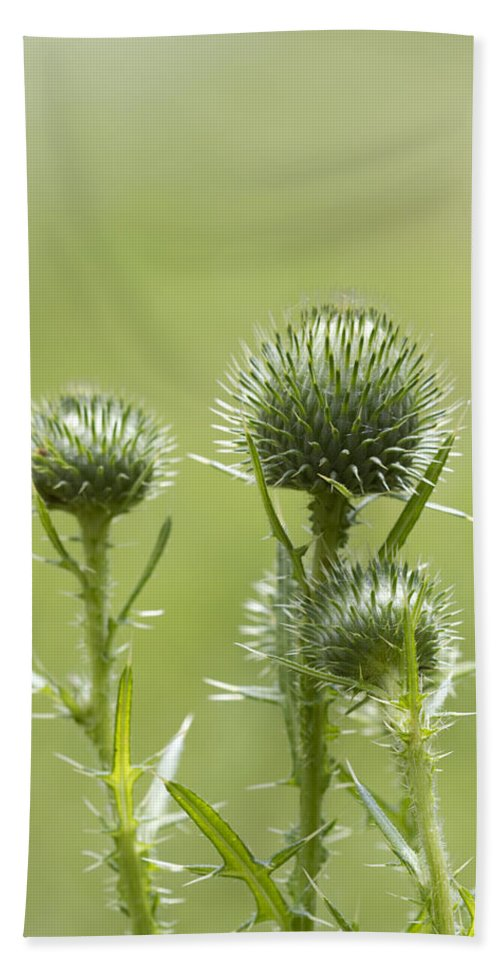 Cirsium Vulgare Bath Sheet featuring the photograph Bull Or Spear Thistle Buds- Cirsium Vulgare by Kathy Clark