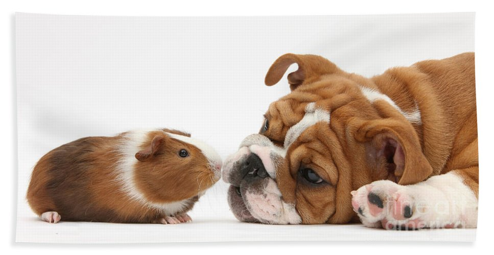 Nature Hand Towel featuring the photograph Bulldog Pup Face-to-face With Guinea Pig by Mark Taylor