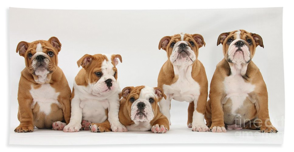Dog Hand Towel featuring the photograph Bulldog Pups In A Row by Mark Taylor