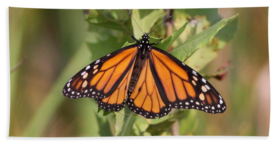 Monarch Bath Sheet featuring the photograph Butterfly - Monarch - Resting by Travis Truelove