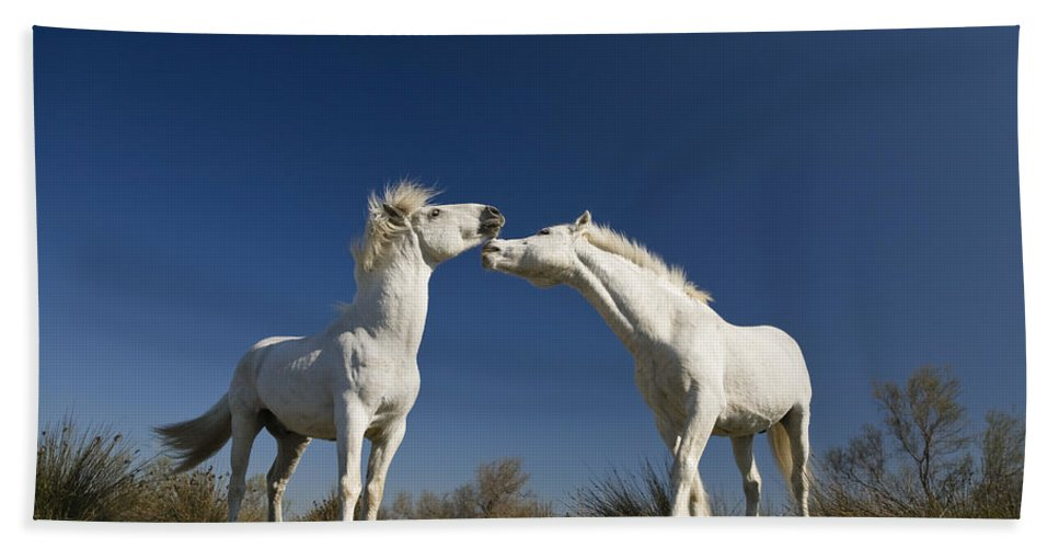 Mp Hand Towel featuring the photograph Camargue Horse Equus Caballus Stallions by Konrad Wothe