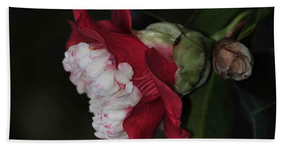 Camellia Bath Sheet featuring the photograph Camellia 16 by Terri Winkler