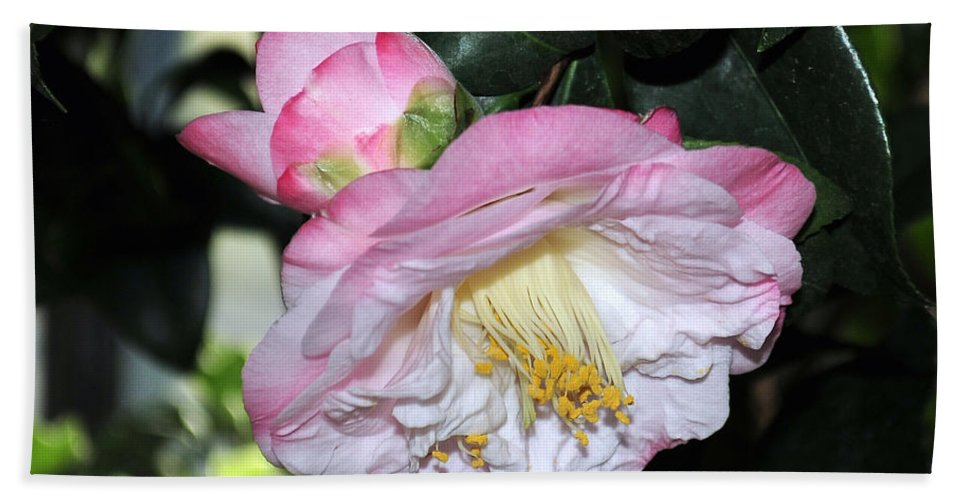Camellia Bath Sheet featuring the photograph Camellia 30 by Terri Winkler