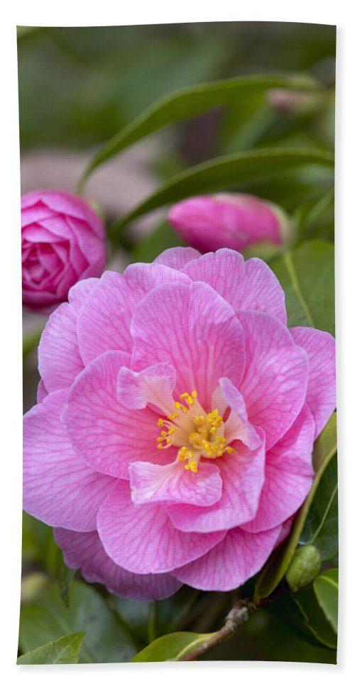 Vp Hand Towel featuring the photograph Camellia Camellia X Williamsii Donation by VisionsPictures