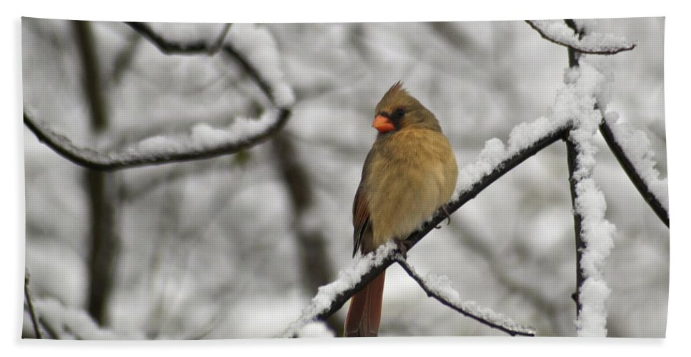 Adult Bath Sheet featuring the photograph Cardinal Female 3652 by Michael Peychich