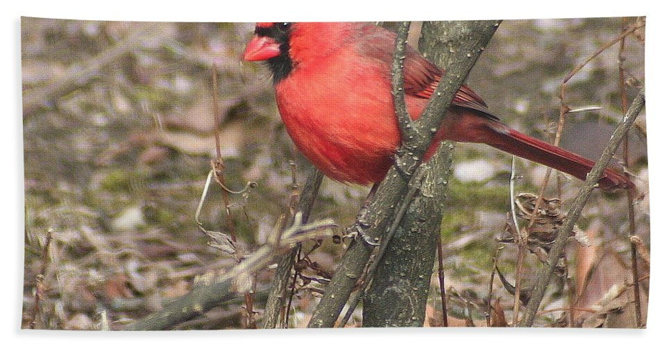 Northern Cardinal Bath Sheet featuring the photograph Cardinal In A Bush by Laurel Talabere