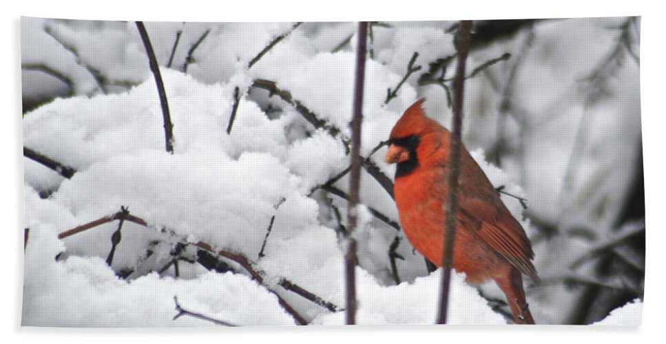 Adult Bath Sheet featuring the photograph Cardinal Male 3669 by Michael Peychich