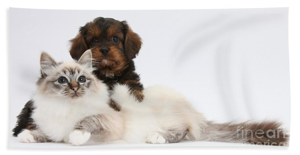 Animal Hand Towel featuring the photograph Cavapoo Pup And Tabby-point Birman Cat by Mark Taylor