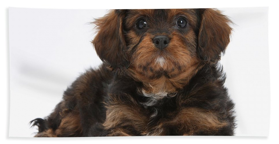 Dog Hand Towel featuring the photograph Cavapoo Pup by Mark Taylor