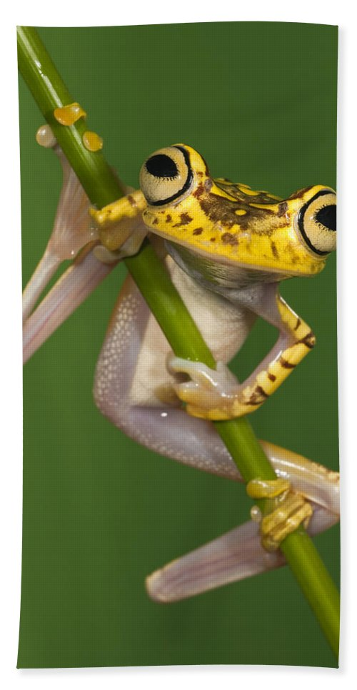 Mp Hand Towel featuring the photograph Chachi Tree Frog Hypsiboas Picturatus by Pete Oxford
