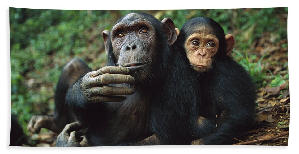 Mp Hand Towel featuring the photograph Chimpanzee Adult Female With Orphan Baby by Cyril Ruoso