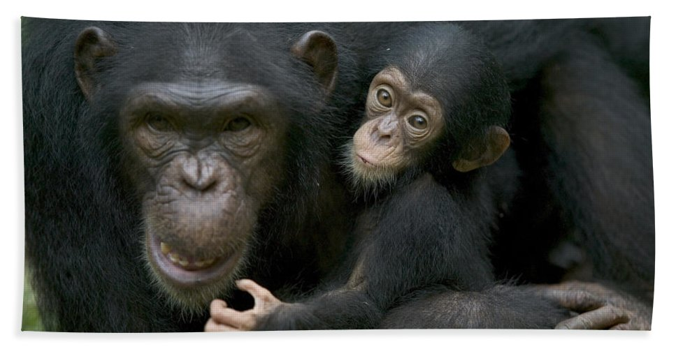 Mp Hand Towel featuring the photograph Chimpanzee Female Holding Infant by Cyril Ruoso
