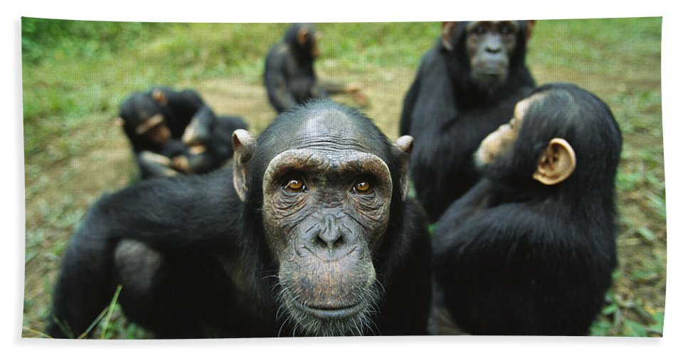 Mp Hand Towel featuring the photograph Chimpanzee Pan Troglodytes Female by Cyril Ruoso