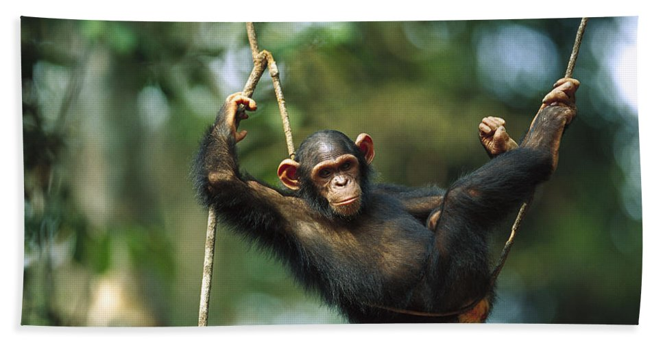 Mp Hand Towel featuring the photograph Chimpanzee Pan Troglodytes Resting by Cyril Ruoso