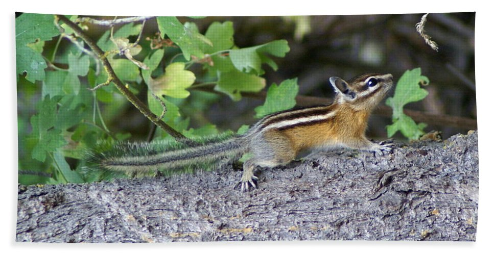 Chipmunks Bath Sheet featuring the photograph Chipmunk On A Log by Ben Upham III