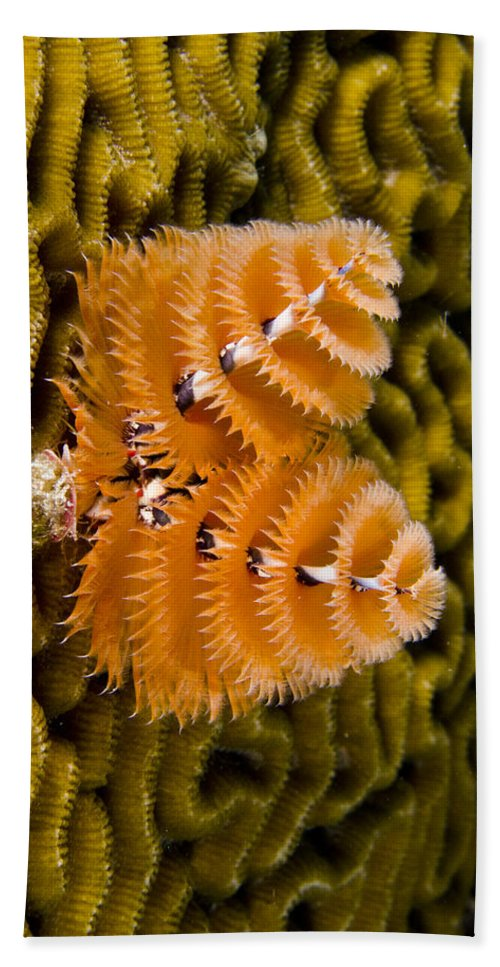 Mp Hand Towel featuring the photograph Christmas Tree Worm Spirobranchus by Pete Oxford