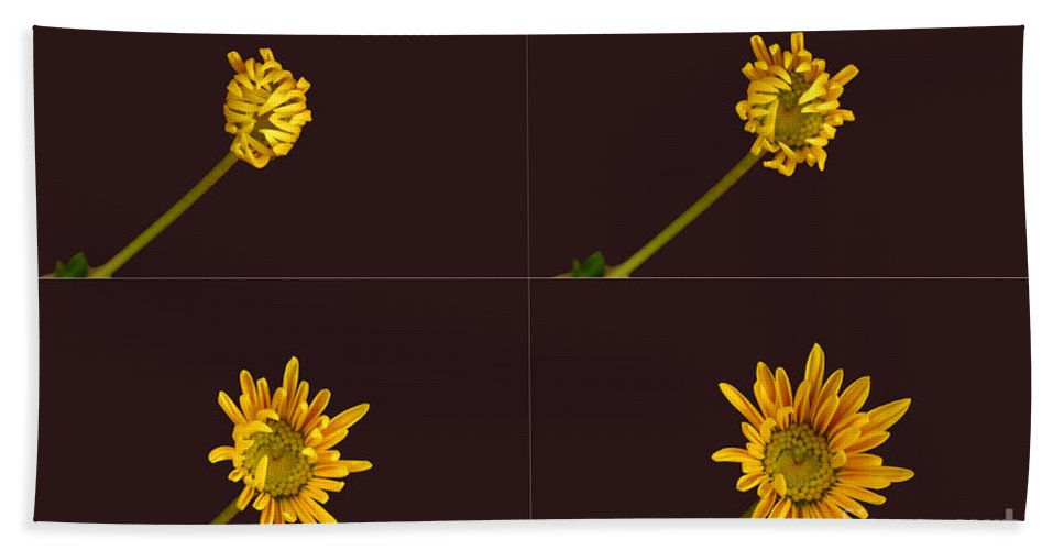 Plant Hand Towel featuring the photograph Chrysanthemum Blooming Sequence by Ted Kinsman