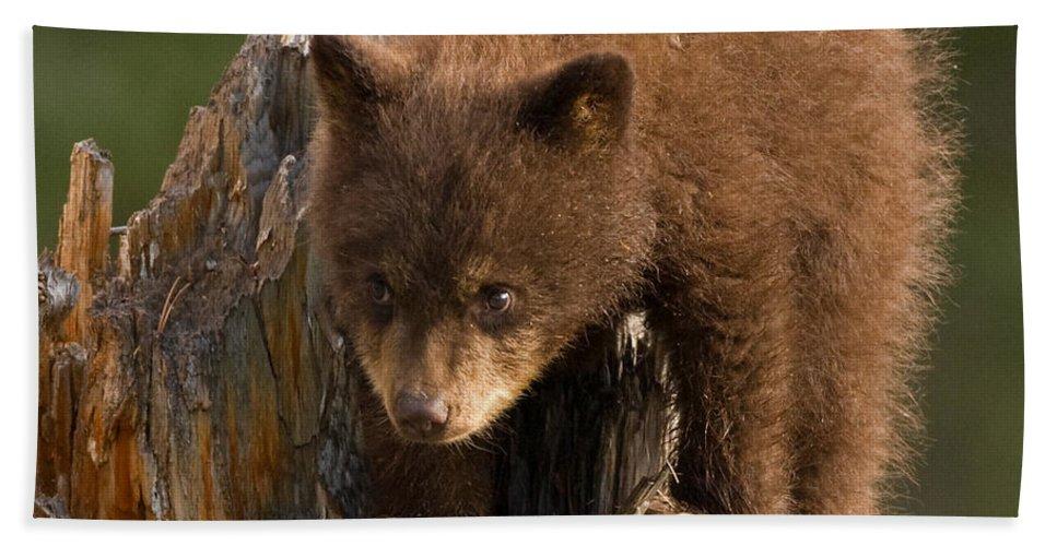 Black Bear Bath Sheet featuring the photograph Cinnabun by Max Waugh