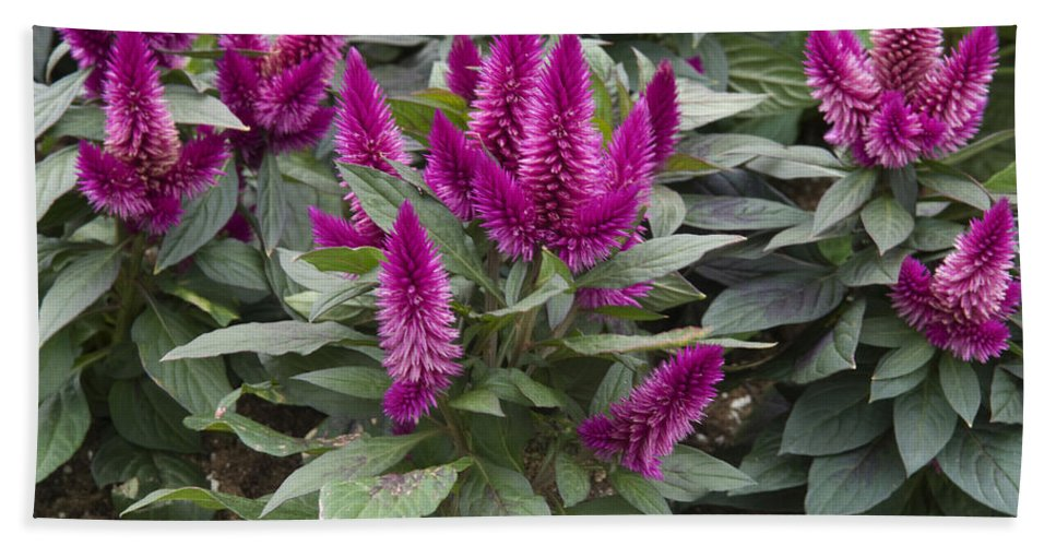 Vp Hand Towel featuring the photograph Cocks Comb Celosia Sp Dark Caracas by VisionsPictures