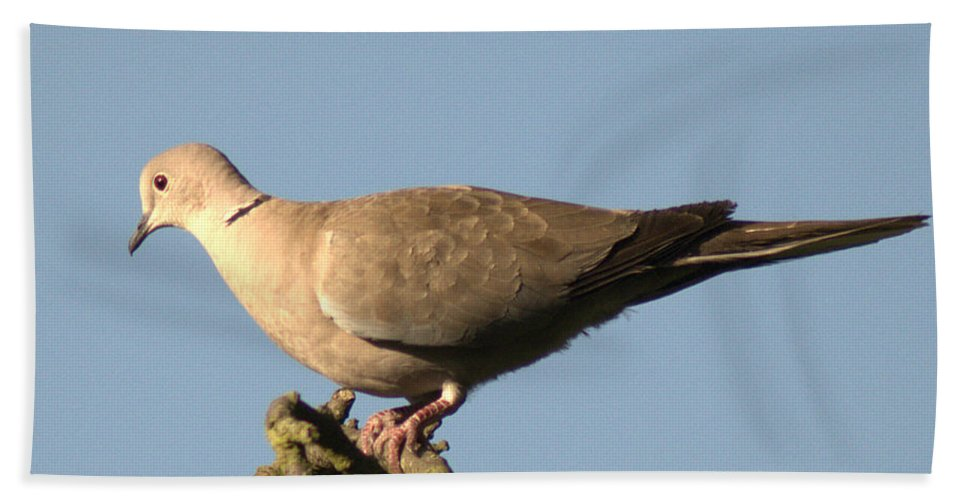 Collared Dove Bath Sheet featuring the photograph Collared Dove by Chris Day