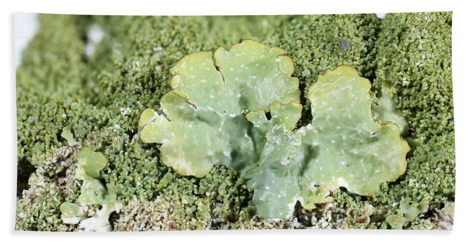 Common Greenshield Hand Towel featuring the photograph Common Greenshield Lichen by Ted Kinsman