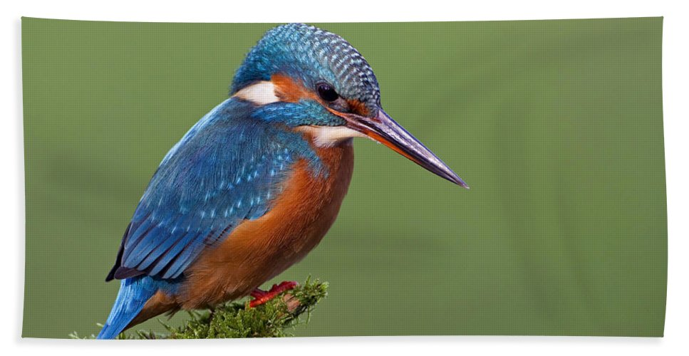 Mp Hand Towel featuring the photograph Common Kingfisher Alcedo Atthis by Ingo Arndt