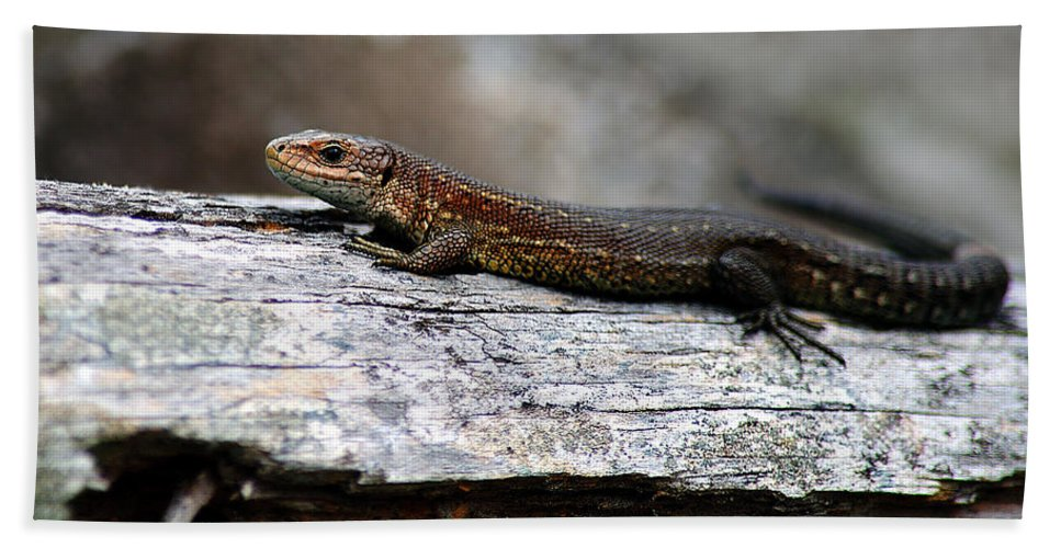 Viviparous Lizard Hand Towel featuring the photograph Common Lizard by Gavin Macrae