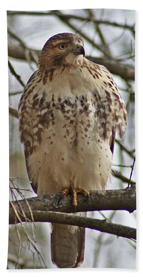 Cooper's Bath Sheet featuring the photograph Cooper's Hawk 1 by Joe Faherty