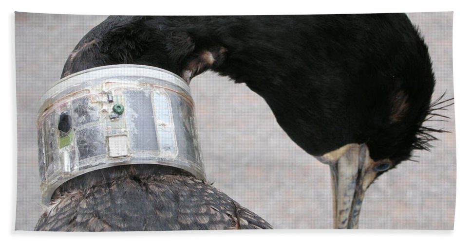 Cormorant Hand Towel featuring the photograph Cormorant With Radio Collar by Ted Kinsman