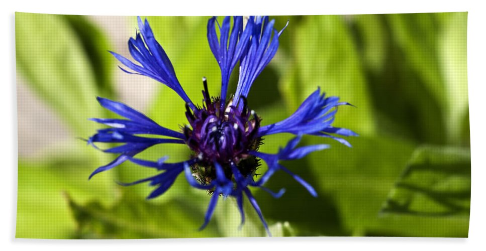 Cornflower Bud Hand Towel featuring the photograph Cornflower by Steve Purnell