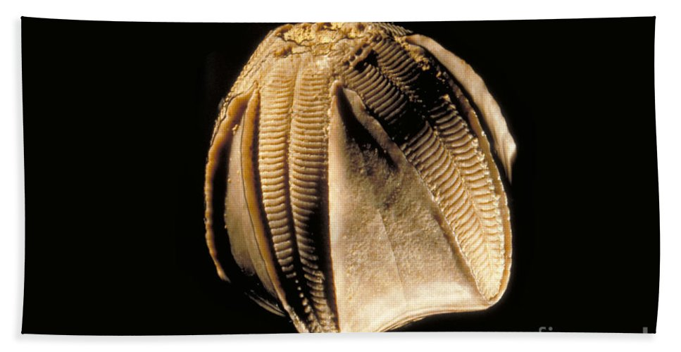 Animal Hand Towel featuring the photograph Crinoid Fossil by Ted Kinsman