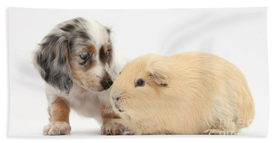 Nature Hand Towel featuring the photograph Dachshund Pup Yellow Guinea Pig by Mark Taylor