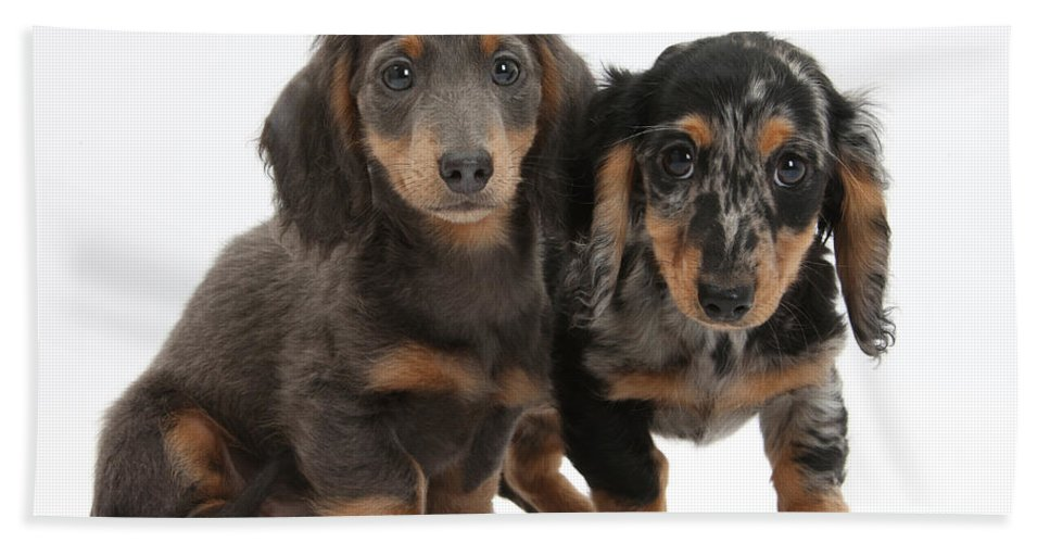 Animal Hand Towel featuring the photograph Dachshund Puppies by Mark Taylor