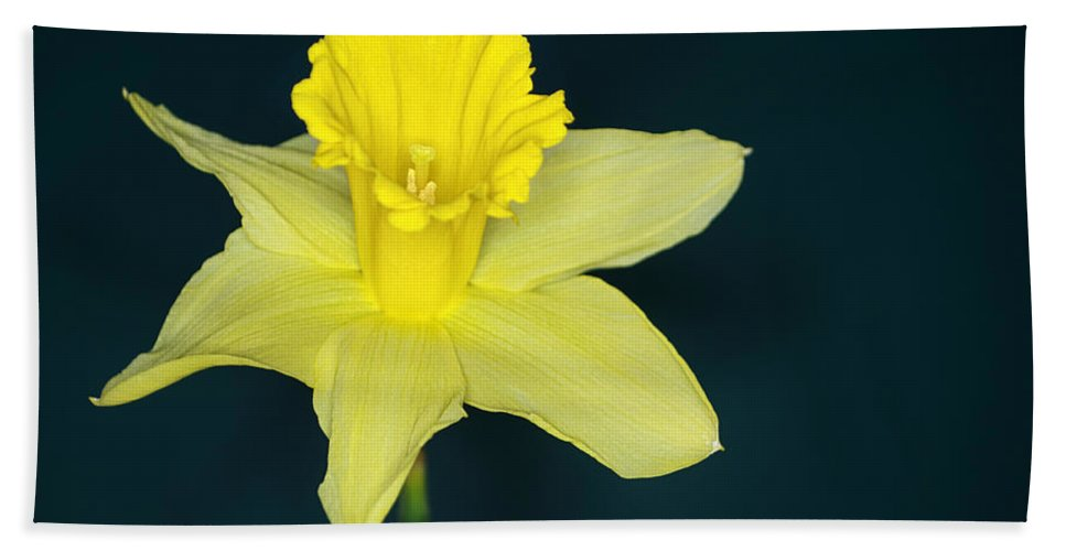 Daffodil Bath Sheet featuring the photograph Daffodil by Chris Day